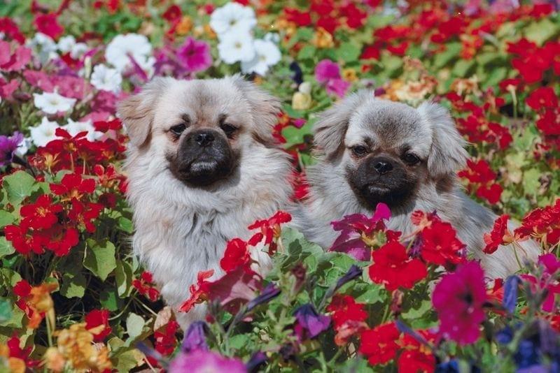 dogs in flowers
