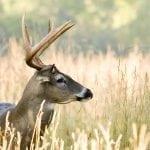 bigstock Buck Whitetail Deer Odocoileu 2425553