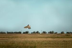 bigstock The Common Pheasant phasianus 251968789