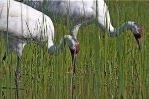 bigstock Whooping Crane Grus American 258762127
