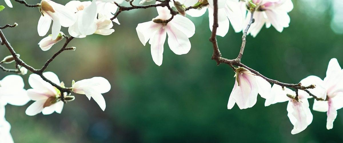 bigstock Blossom Tree Over Nature Backg 280596898