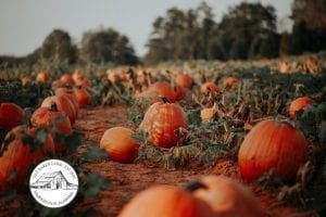 special feature Old Baker Farm pumpkins Oct 2019 BCF