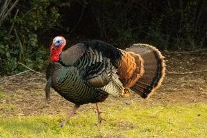 Turkey gobbler flaring