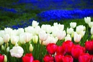Festival of Tulips