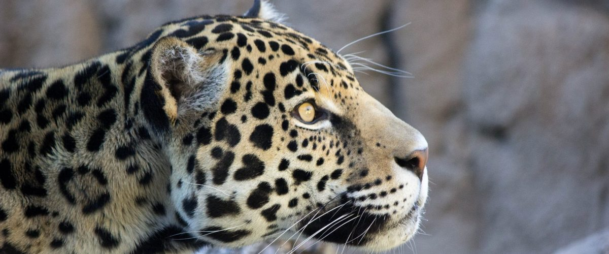 Jaguar Khan 007 Birmingham Zoo 2 8 18